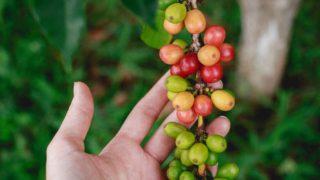 コーヒーの木栽培(長期不在編)