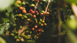 コーヒーの木の植え替え季節