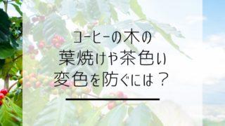 【コーヒーの木】の葉焼けや茶色い変色を防ぐには?