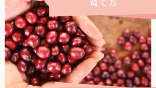 【コーヒーの木の育て方】~はじめての収穫